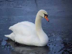 Swans - Ice