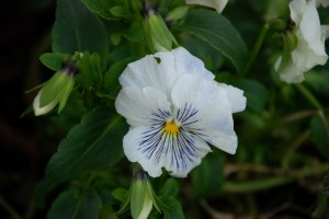white-blue pansy