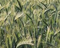 Wheat-Field-Green-Ears_Summer-June__IMG_0577_cr-580x394