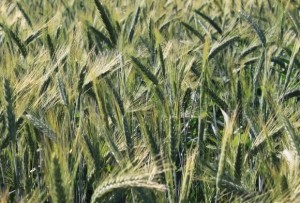 Wheat-Field-Green-Ears_Summer-June__IMG_0577_cr-580x394