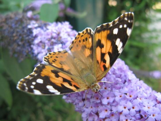butterfly-1392695-640x480