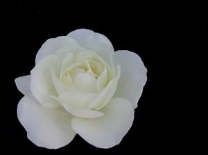 white-rose-1375088-639x474