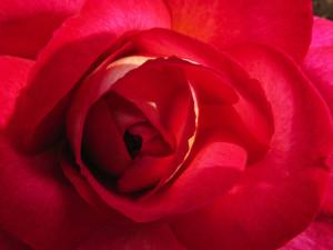 rose-1395007-640x480