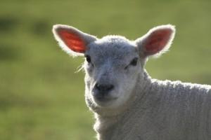 lamb-1575701-639x426