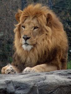 lion-1484367-639x844