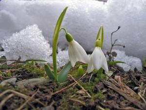 snowdrop-2-1478952-640x480