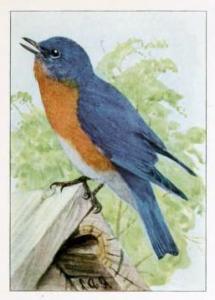 blue-bird-fuertes