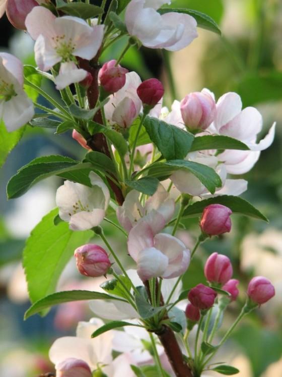 cherry-blossoms-3-1370694-639x852