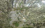 white-blossoms