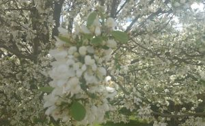 white-blossoms